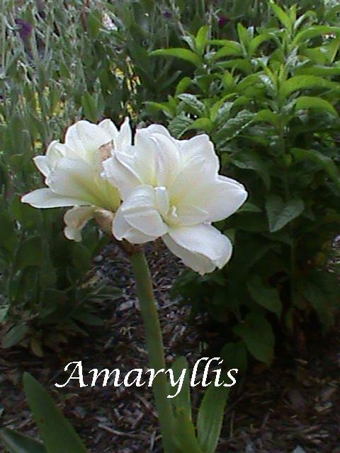 Amaryllis-White