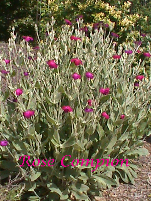 Rose-Campion---Lychnis-coro